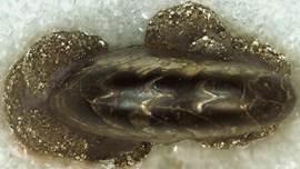 Alden Pyrite Bed Ledyard Shale Member